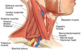 structure of the neck - muscles